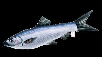 Sleď obecný (clupea harengus) - 60 cm polštářek